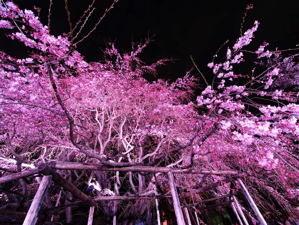 sakura-night-02
