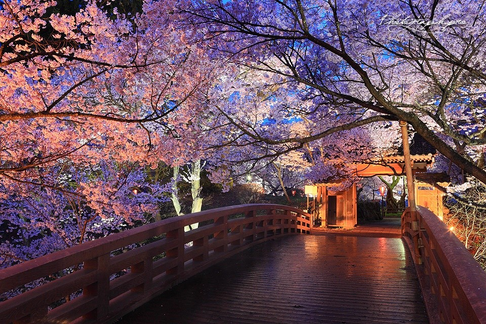 sakura-night-05
